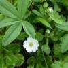 Лапчатка Белая Плюс – Тирео-Вит
